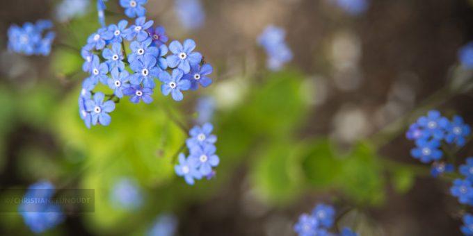 Macrofoto Van Helderblauwe Vergeetmenietjes