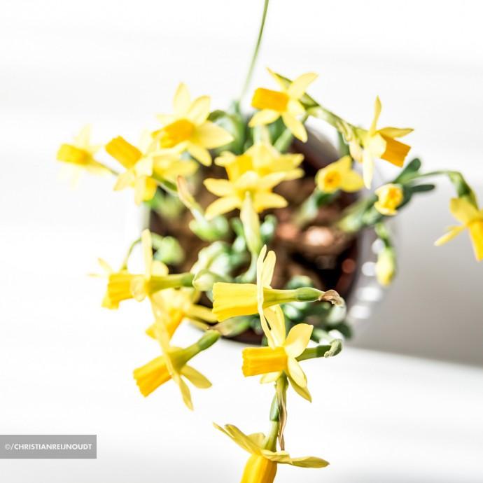 Macrofoto van narcis in zonlicht op salontafel