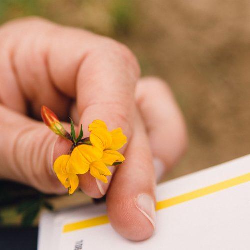 Een Gele Klaver Determineren Met De 'Nieuwe Plantengids' In De Hand.