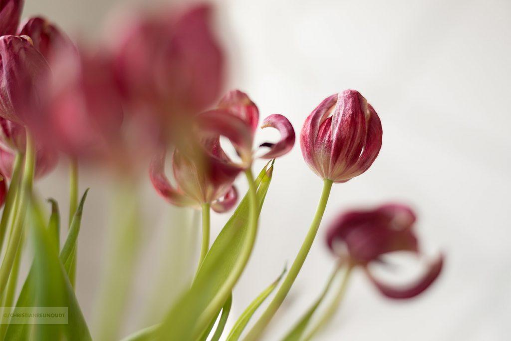 Uitbloeiende tulpen